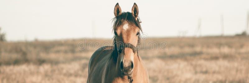 单独吃草在夏天领域的棕色马在日落 免版税库存图片