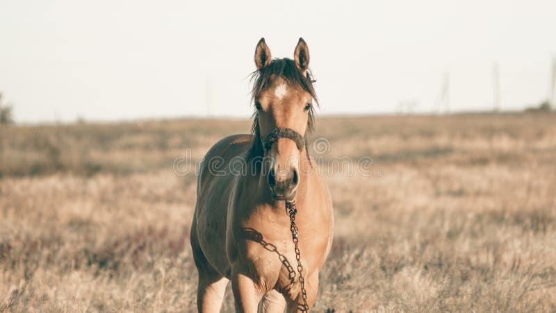 单独吃草在夏天领域的棕色马在日落 库存图片