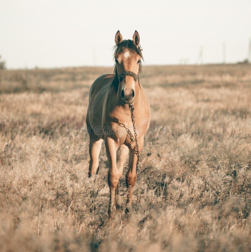 单独吃草在夏天领域的棕色马在日落 库存照片