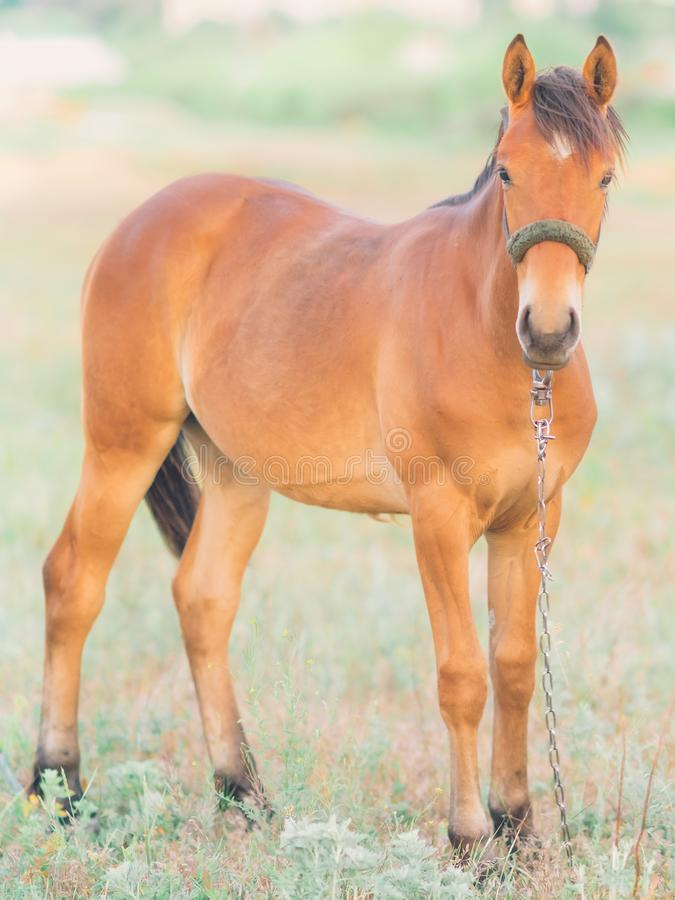 单独吃草在日落的草甸的马 免版税库存图片