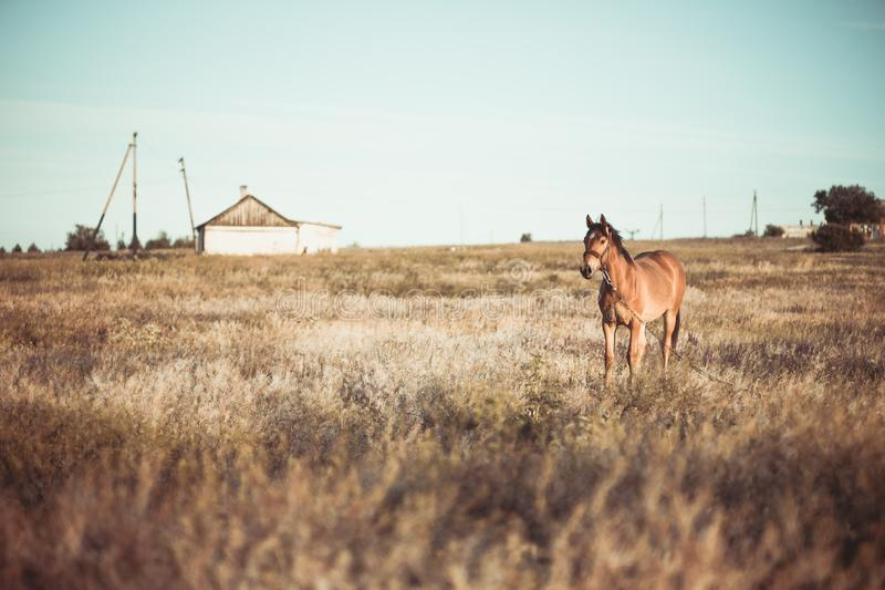 单独吃草在日落的草甸的马 库存图片