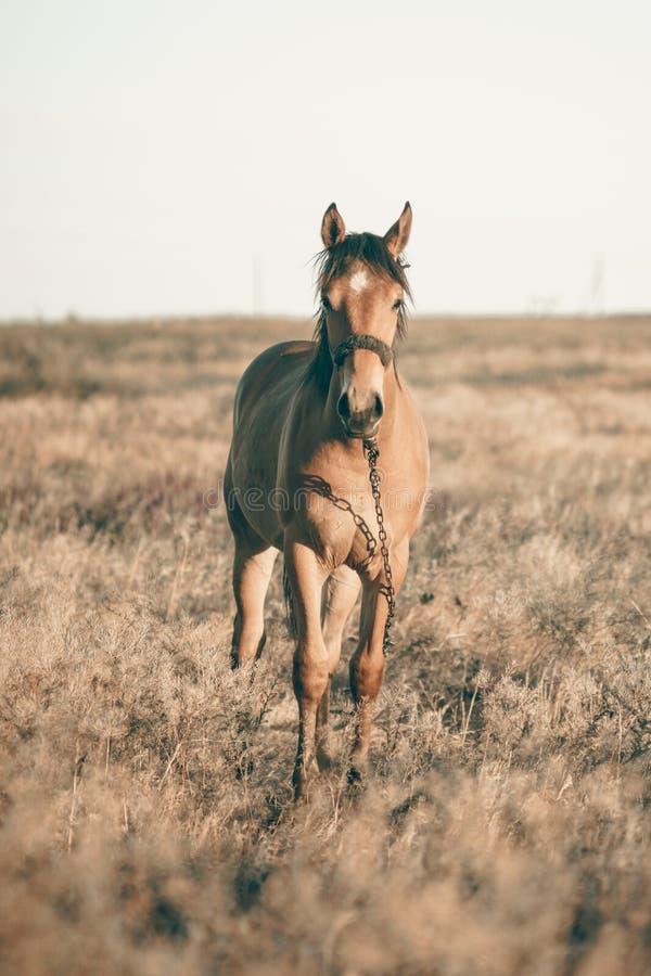 单独吃草在日落的草甸的马 库存照片