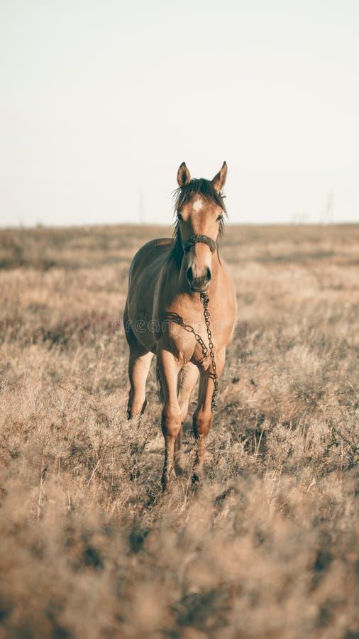 单独吃草在日落的草甸的马 免版税库存照片