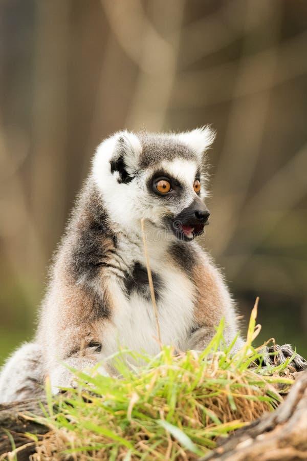 单独坐一只的环纹尾的狐猴 库存图片