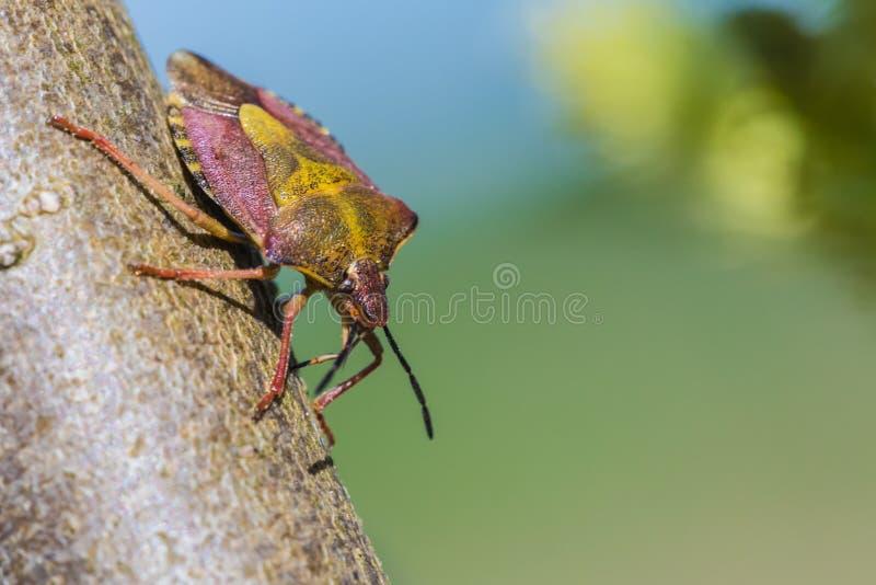 单独小的臭虫或甲虫的美丽的宏观射击在杨柳的分支或枝杈 免版税库存照片