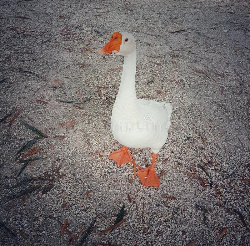 单独小的鹅立场 库存照片