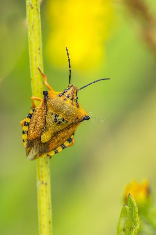 单独昆虫臭虫在棕色和黑和黄色特写镜头在黄色和绿色背景的草茎摆在了 图库摄影