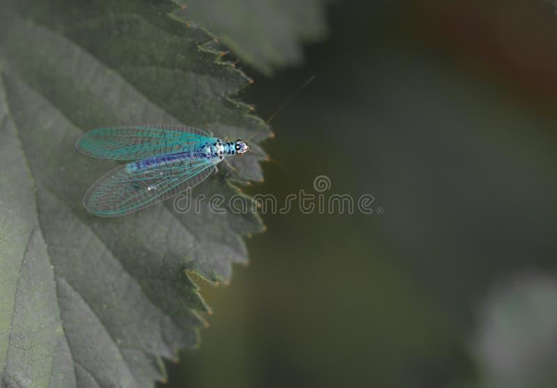 单独昆虫蓝色草蜻蛉在特写镜头的一片绿色叶子 免版税图库摄影