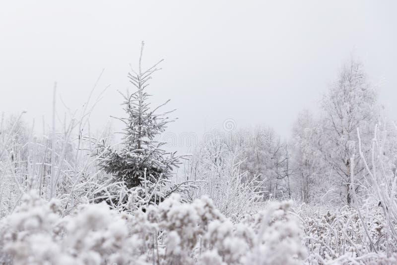 单独杉木(圣诞节)树在冻草甸 冬天在Lithuani 库存照片