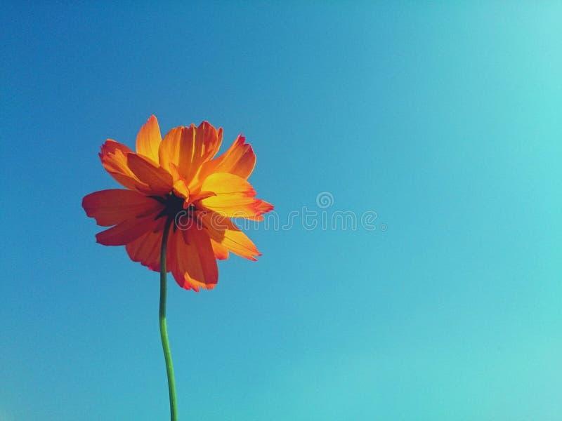单独橙色波斯菊花架在清楚的蓝天 库存照片