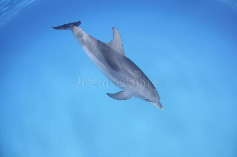 单独游泳在巴哈马的清楚的水域的中逗人喜爱的唯一海豚 免版税图库摄影