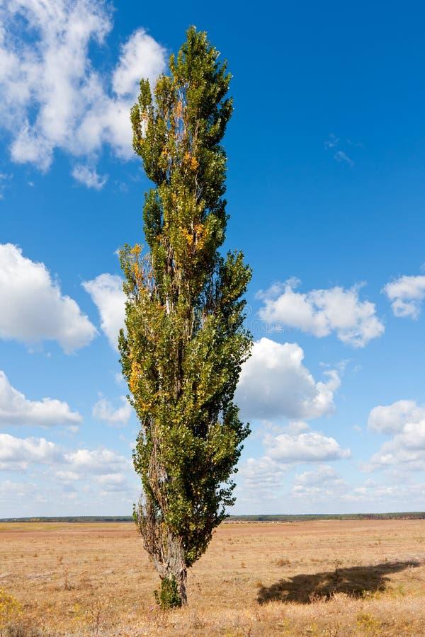 单独牧场地白杨树 库存照片