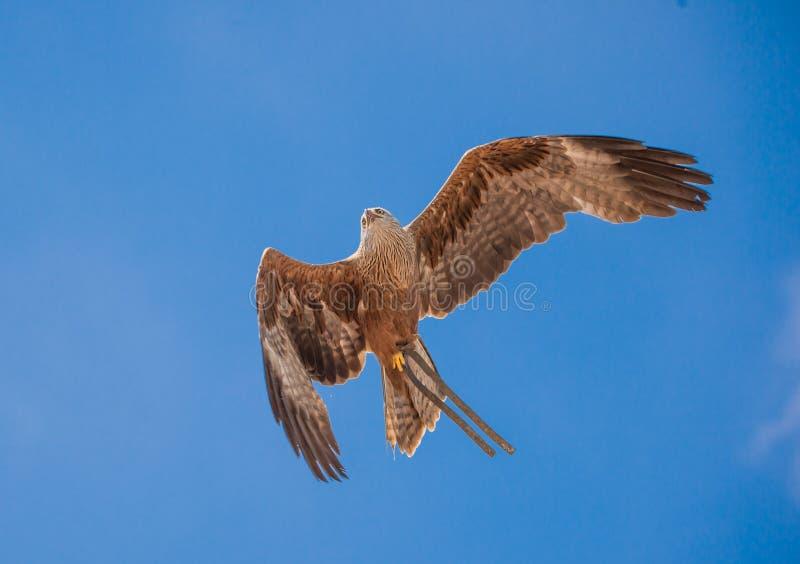 单独神鹰在飞行中在夏天展示的蓝天背景 库存图片