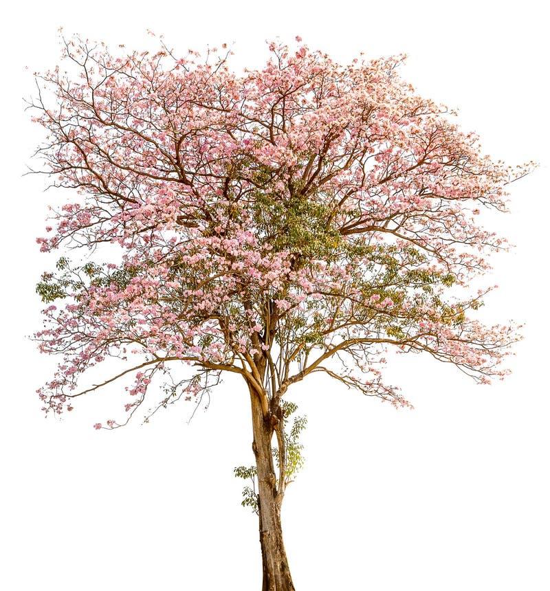 单独立场在w的美丽的pind tecoma (桃红色喇叭)树 库存图片