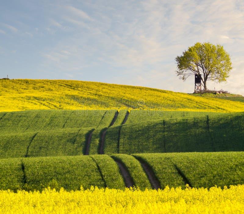 单独站立在春天领域的绿色树 图库摄影