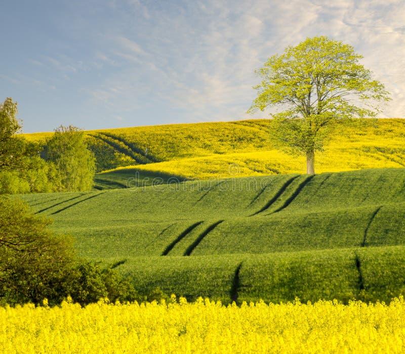 单独站立在春天领域的绿色树 库存照片