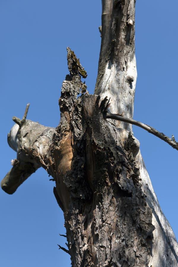 单独站立在烧焦的夏天太阳下的一棵老干苹果树的树干反对一干净的天空蔚蓝 免版税库存照片