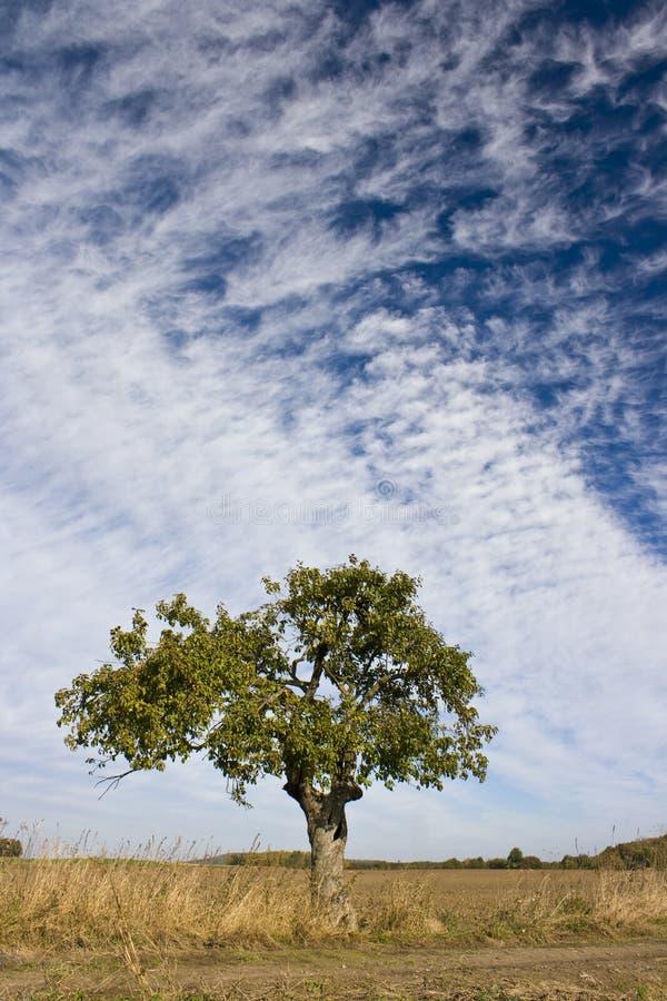 单独结构树 图库摄影