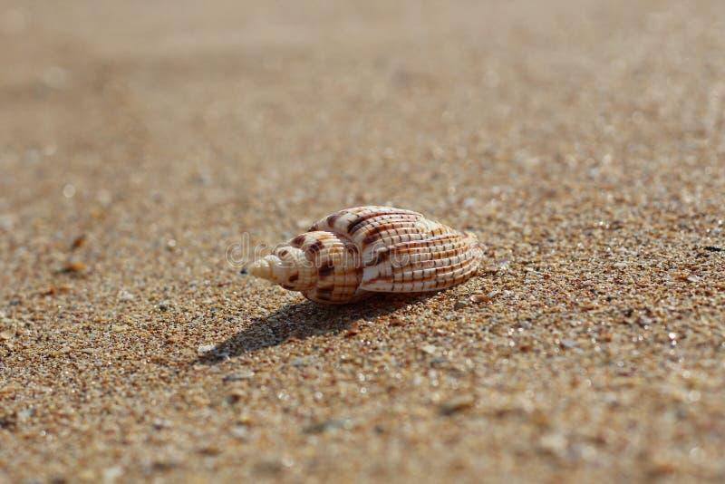 单独说谎在一个离开的干净的海滩的美好的壳 库存图片