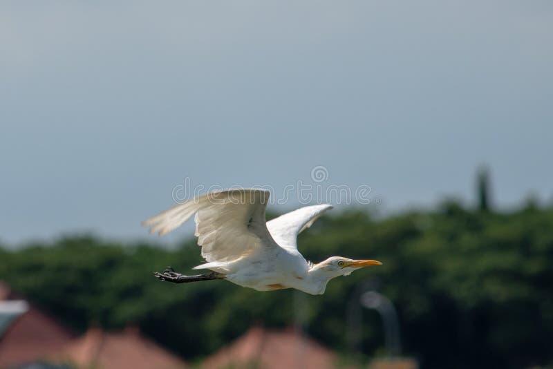 单独飞行有迷离背景的牛背鹭鸟 免版税库存图片