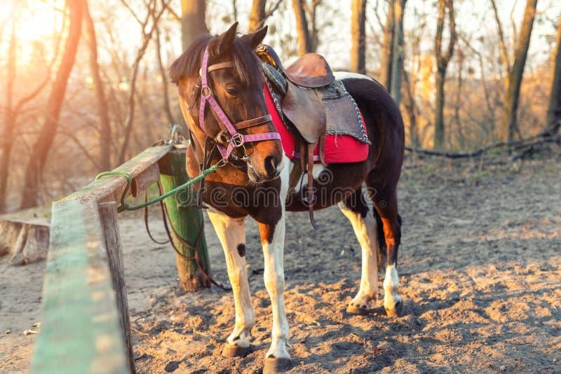 单独Sadddled马被栓对在城市公园或森林等待的骑马的木篱芭在明亮的日落秋天天 免版税库存照片