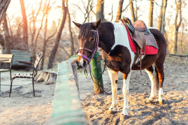 单独Sadddled马被栓对在城市公园或森林等待的骑马的木篱芭在明亮的日落秋天天 库存图片
