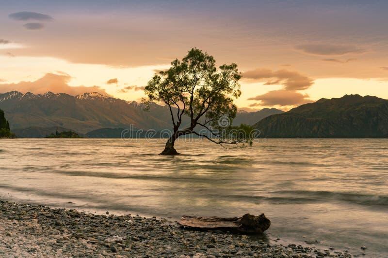 单独Wanaka树在水湖,新西兰 库存图片