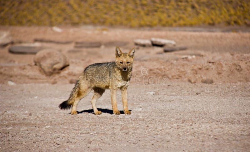 单粒宝石Fox在阿塔卡马沙漠 库存照片