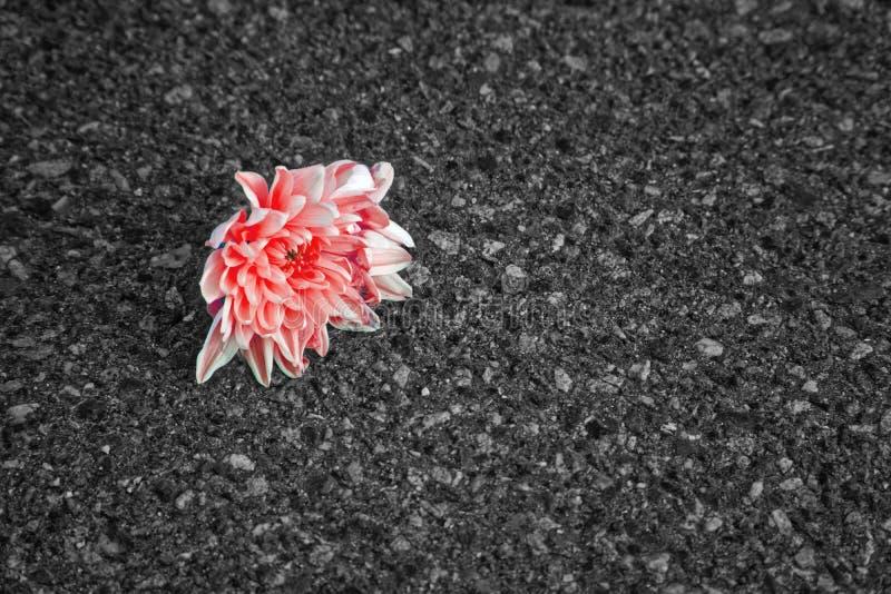 单色红色突出了在沥青的花成长,希望的概念 库存照片