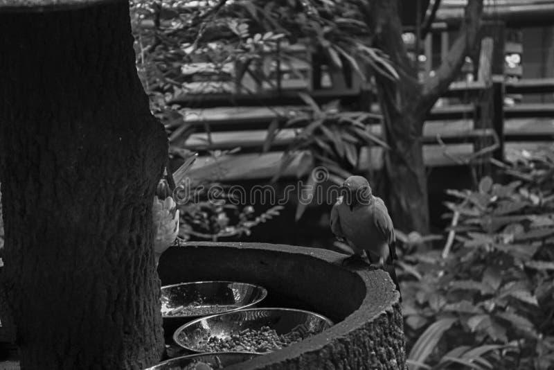 单色鹦鹉,太阳Conure Aratinga solstitialis,站立在分支,乳房外形 免版税库存图片