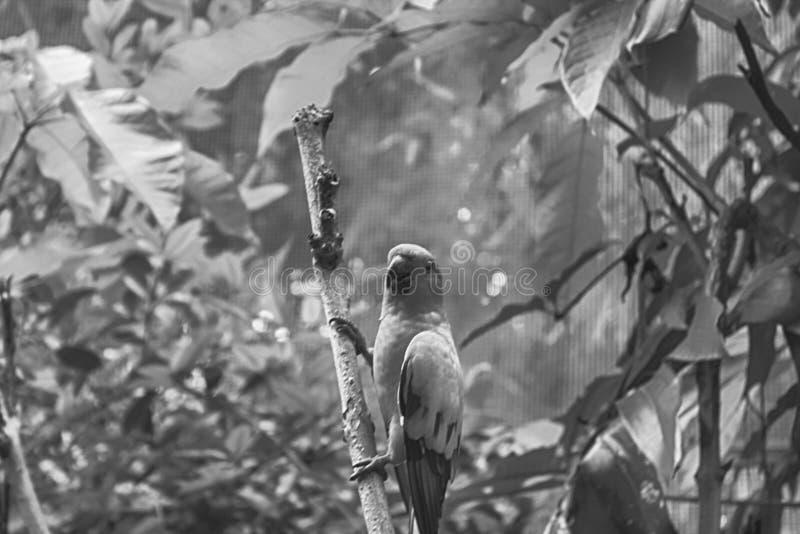 单色鹦鹉,太阳Conure Aratinga solstitialis,站立在分支,乳房外形 库存图片