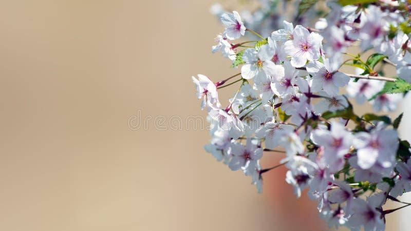 单音背景的开花的佐仓 库存照片