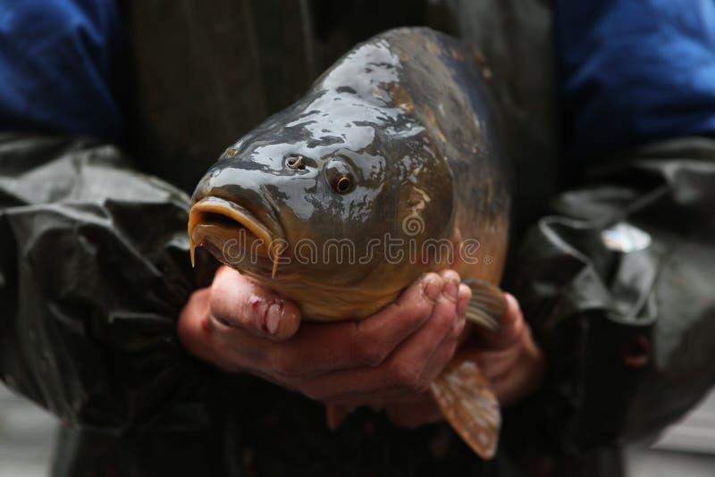 卖在布拉格,捷克的活鲤鱼 图库摄影