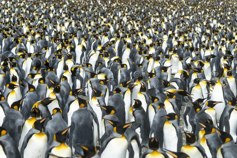 南乔治亚的企鹅国王殖民地 免版税库存照片