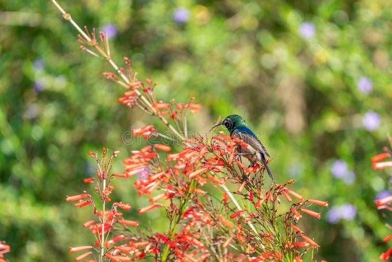 南二重抓住衣领口的Sunbird (;Nectarinia chalybea 免版税库存照片