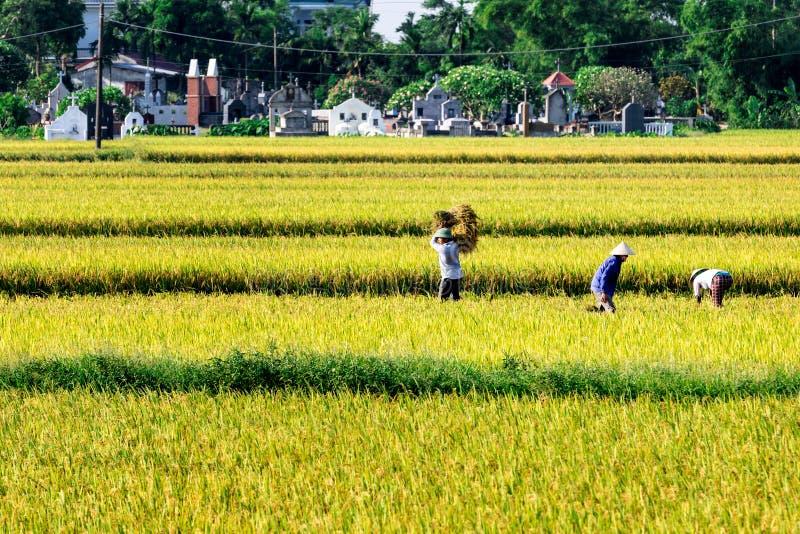 南定,越南- 2015年5月31日-收获在领域的农夫米 免版税库存照片