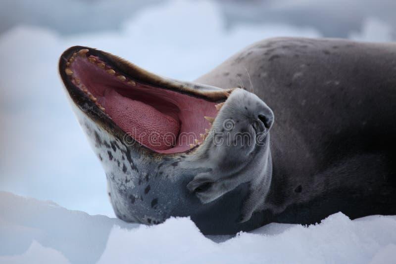 南极洲打呵欠豹子的密封 免版税库存照片