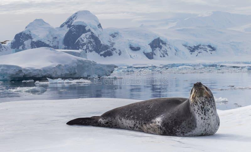 南极洲的天敌是豹子封印 放松说谎在冰的动物 免版税库存图片