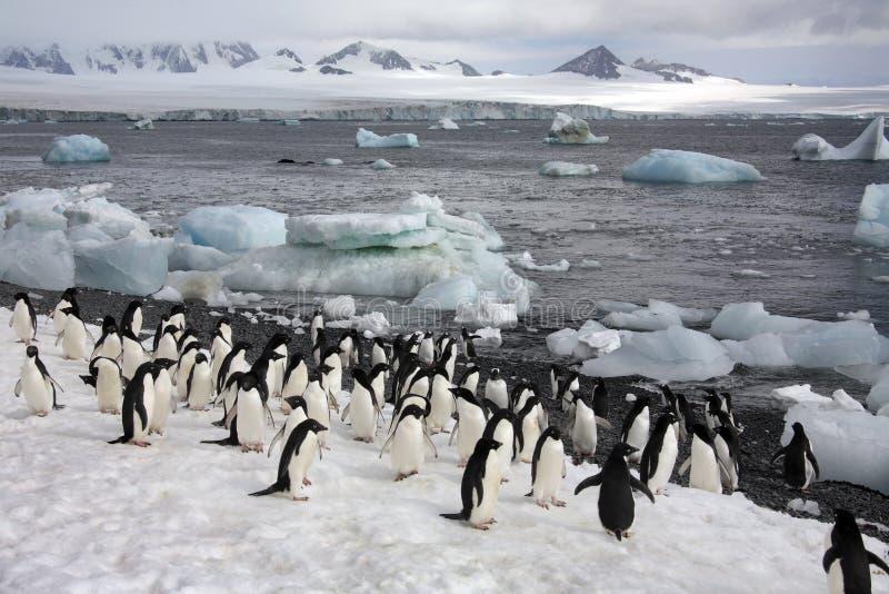 南极洲-在Paulet海岛的企鹅 库存图片