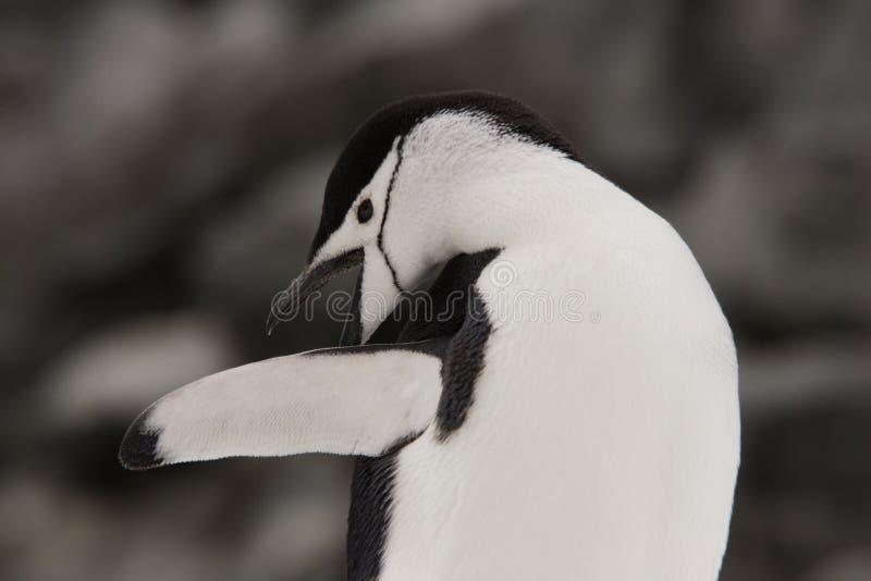 南极洲chinstrap企鹅 免版税库存照片