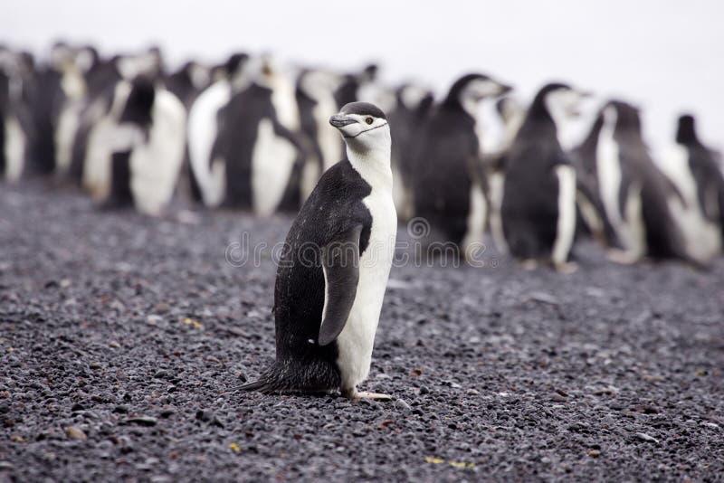 南极洲chinstrap企鹅 免版税库存图片