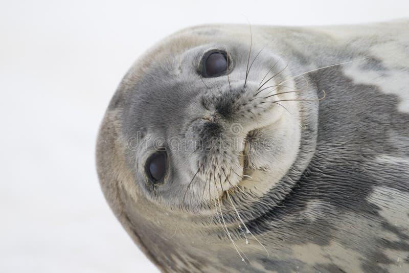 南极洲cuverville海岛密封weddell 库存图片