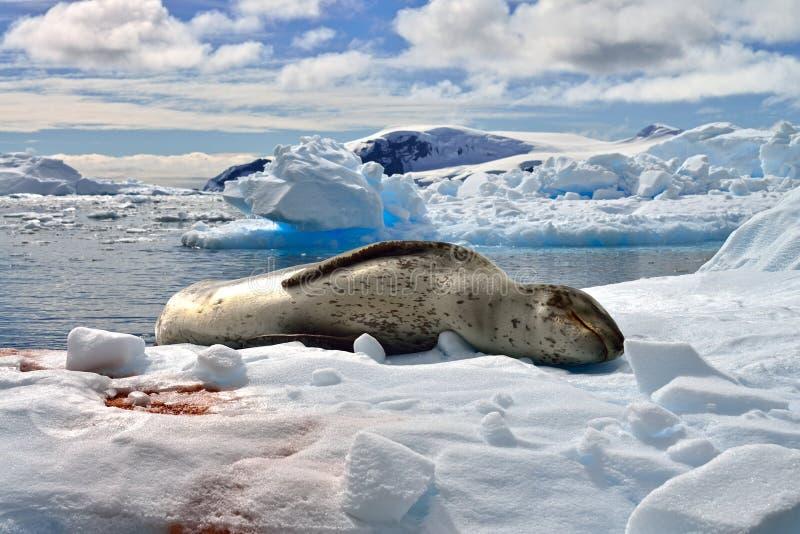南极豹子封印& Gentoo企鹅 免版税库存照片