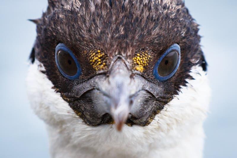 南极野生生物蓝眼睛的粗毛 库存图片
