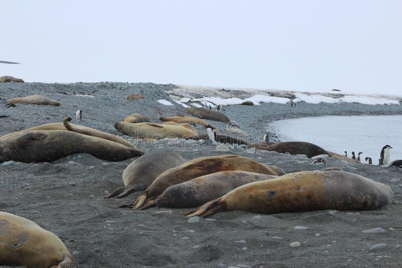 南极洲-封印 库存图片