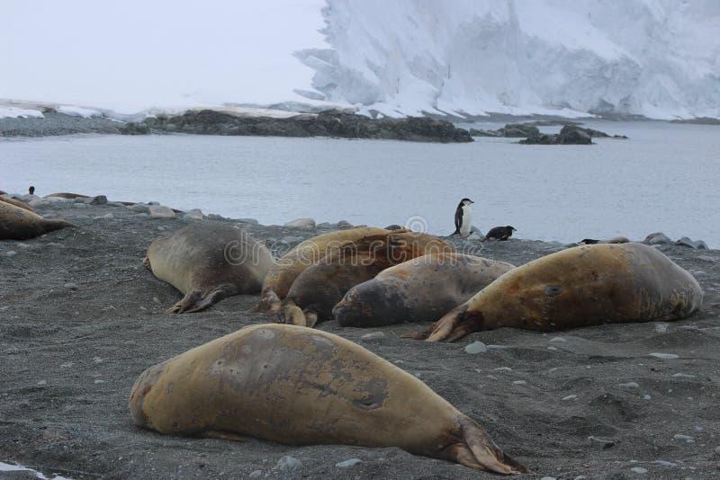 南极洲-封印 免版税库存图片