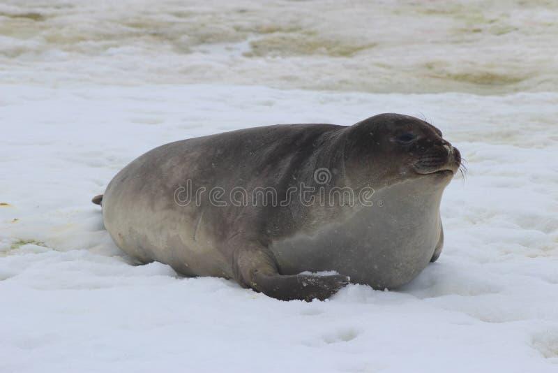 南极洲-封印 免版税库存照片