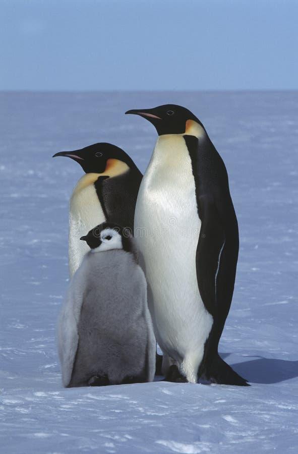 南极洲Weddel海Atka海湾皇企鹅家庭 库存图片