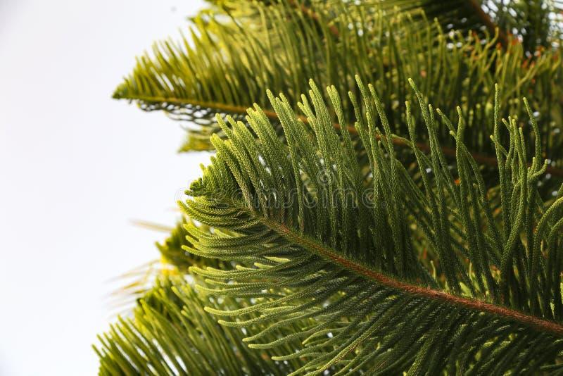 南洋杉树 免版税图库摄影