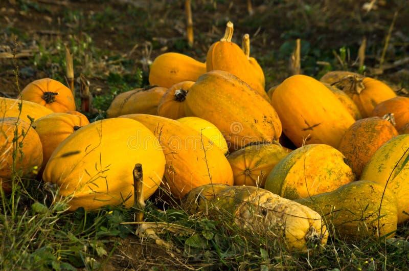 南瓜在领域收获了在秋天日落 库存照片